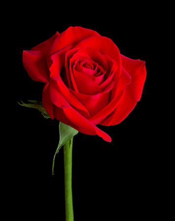 long stem: A single long-stemmed red rose is isolated on a pure black background Stock Photo