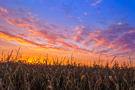 cornfield: An Indiana cornfield is topped by a colorful autumn sunset sky. Stock Photo