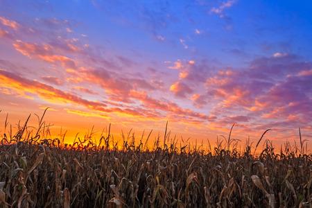 champ de mais: Un champ de ma�s de l'Indiana est surmont�e d'un coucher de soleil color� automne ciel. Banque d'images
