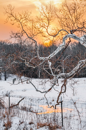 The gnarled branches of a large sycamore tree stretch out over a snowy stream backed by a beautiful golden sunset sky in rural Indiana. photo