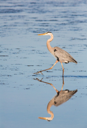 wading: A great blue heron, a wading bird found throughout North America, is reflected in a salt water pool Stock Photo