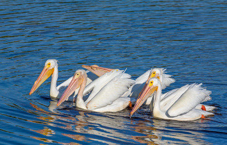wildlife refuge: A group of white pelicans swims and forages for food together in JN ?Ding? Darling National Wildlife Refuge on Florida