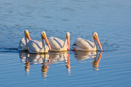 ply: Four American white pelicans ply the waters of JN Darling National Wildlife Refuge on Gulf Coast Florida