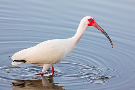 ding: An American white ibis, Eudocimus albus , wades in shallow water at JN \\\\\\\\\\\\\\\\\\\\\\\\\\\\\\\\\\\\\\\\\\\\\\\\\\\\\\\\\\\\\\\DING\\\\\\\\\\\\\\\\\\\\\\\\\\