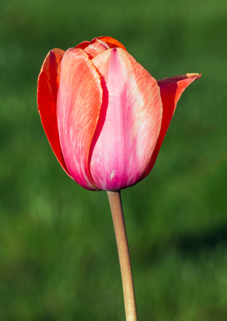pastel shades: A beautiful spring tulip blooms in pastel shades of pink and peach.