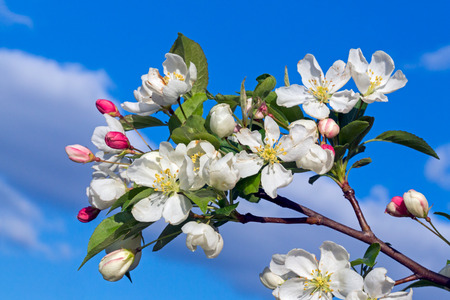 crab apple tree: Backed by a cloudy blue sky white flowers and red unopened buds decorate a crab apple tree in spring. Stock Photo