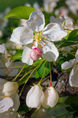 crab apple tree: Crab apple tree flowers, both opened and buds, are photographed close in spring.