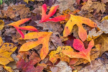 vividly: Vividly colorful fall leaves, including sassafras, cover the forest floor.