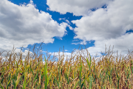 corn stalks: Late season corn stalks are topped by a cloudy blue sky.