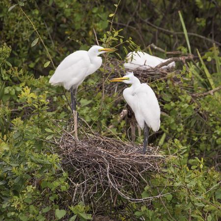 s curve: A pair of great egrets stand over the nest they have built from gathered sticks and twigs in a Florida swamp. Stock Photo