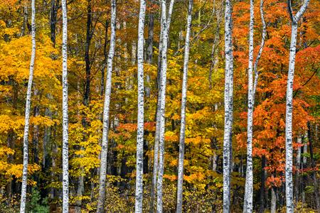 カラフルな紅葉は、北部のウィスコンシン州の森の中で鮮やかな白樺の木の幹で中断されています。