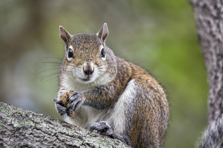 nibbling: A squirrel in a tree, nibbling on a nut, looks at the camera. Stock Photo