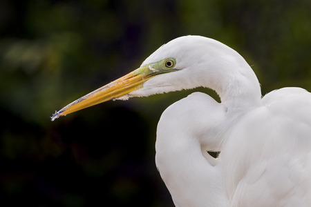 s curve: A great egret is viewed from the side while resting.