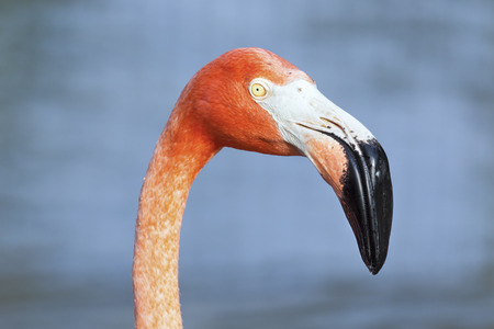 displays: A colorful falmingo bird displays it large, specialized beak. Stock Photo