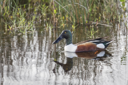 northern shoveler duck: The Northern Shoveler lives in wetlands across much of North America. Its long, spoon-shaped bill has comblike structures along its edges, to filter food from the water as it forages. Stock Photo