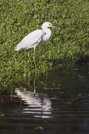 rippling: An immature snowy egret is reflected on the rippling surface of a Florida pond. Stock Photo