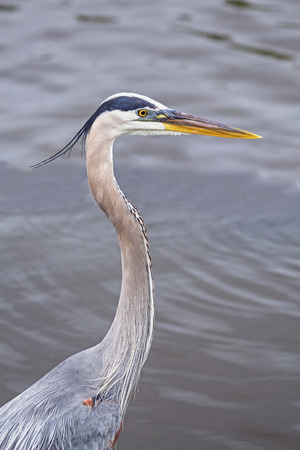 wading: The great blue heron is a tall wading bird that inhabits much of north and central America.