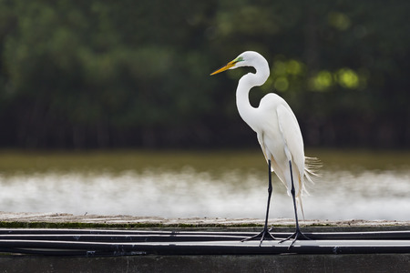 s curve: A tall white great egret (Ardea alba) stands on a pier with its head and s-curve neck in profile. Stock Photo