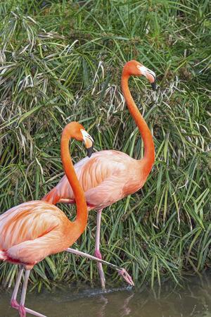 shorebird: Two flamingo walk through a wetland. Stock Photo