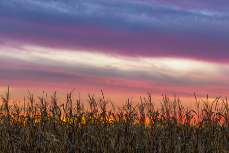 cornfield: A beautiful, colorful sunset sky tops a Midwestern cornfield at harvest time.