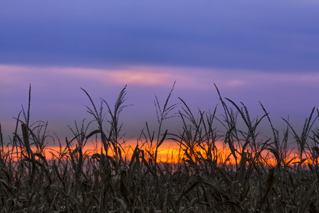 champ de maïs: A colorful sunset sky silhouettes a cornfield at autumn harvest time in rural Indiana.