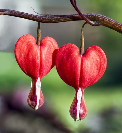 A pair of bleeding heart flowers bloom in the spring perennial garden.
