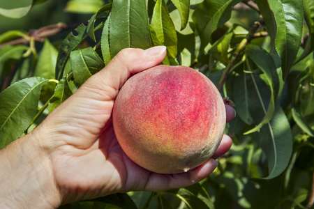 A colorful ripe peach is picked from the tree in an orchard. Stock Photo