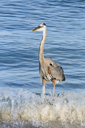 herodias: A great blue heron stands in the breaking waves of Johns Pass, an inlet from the the Gulf of Mexico at Treasure Island, Florida.