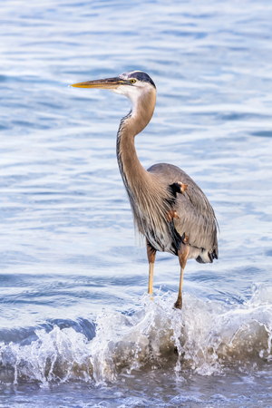 A great blue heron, Ardea herodias, stands in gently breaking waves along the Florida Coast on the Gulf of Mexico.