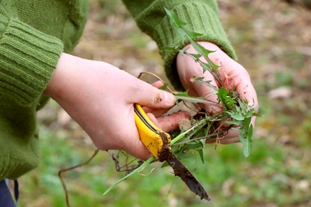 Removing weeds in german garden. Dirty female hands holding yellow knife and dandelion plant with roots.