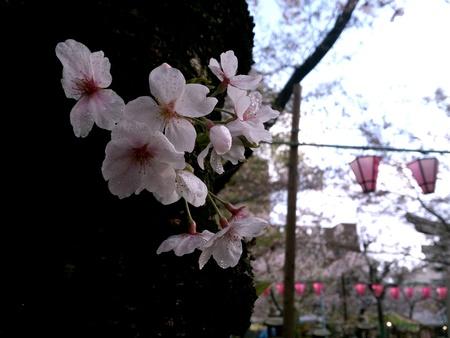 beside: Sakura blossom in temple beside japanese yatai festivel Stock Photo