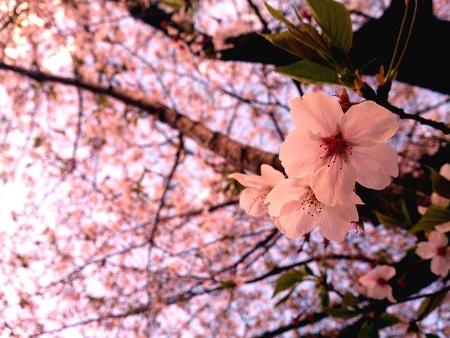 Sakura blossom in temple beside japanese yatai festivel Stock Photo