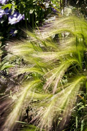 Japanese pampas grass flower garden