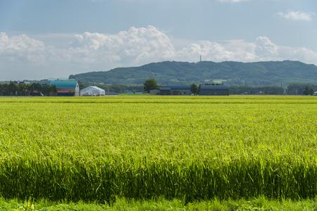 rice harvest: Rice harvest