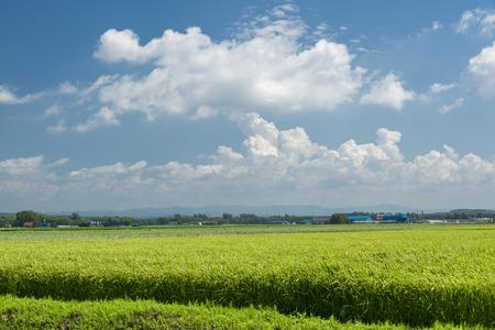 stockpiling: El arroz de la cosecha