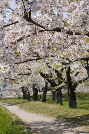 cherry tree: Cherry tree Stock Photo