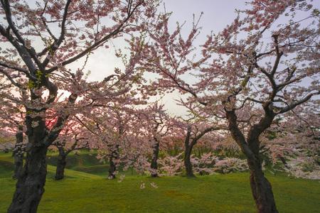 ephemeral: Cherry tree Stock Photo