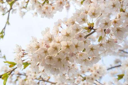 Cherry tree Stock Photo