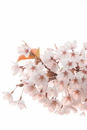Cherry tree, Stock Photo