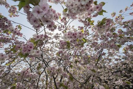 ephemeral: Cherry tree, Stock Photo