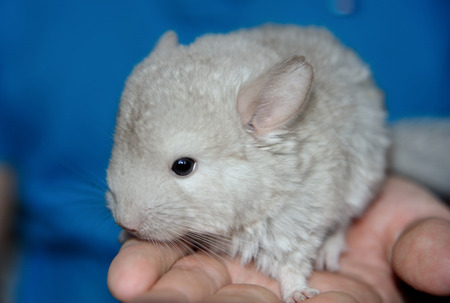 The cute little child chinchilla on hand
