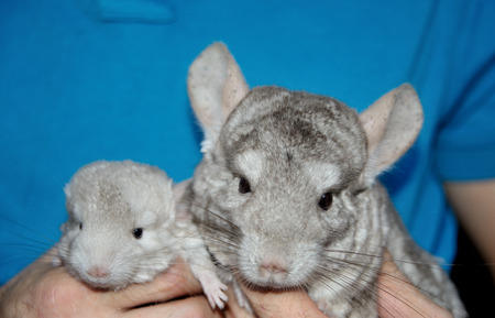 Beige chinchilla with her cute babie on hands