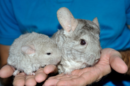 Closeup Mama and Baby Chinchilla on hands Stock Photo