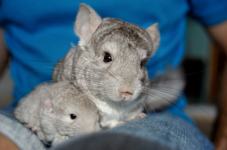 Beige chinchilla with her cute little babie