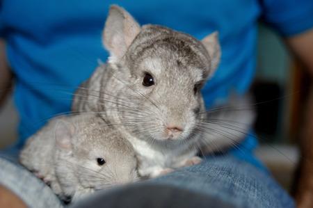 hetero: Beige chinchilla with her cute little babie