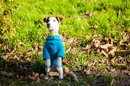 Puppy Jack Russell terrier dressed blue cloth sitting on hind legs at park