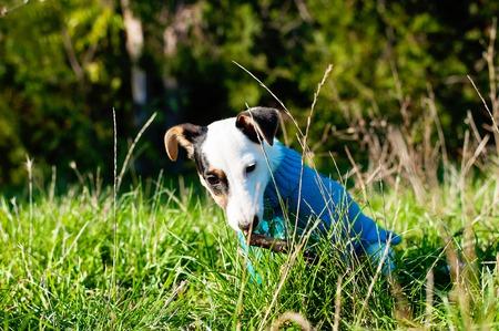 plastico pet: perrito Jack Russel terrier lindo vestido de tela azul con el placer que roe el palillo de madera en la hierba