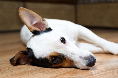 A sad looking dog Jack Russell Terrier portaite closeup