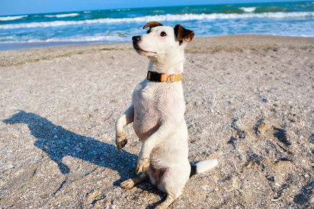 Jack russell terrier dog sitting on a sand on a beach. Spring time Stock Photo