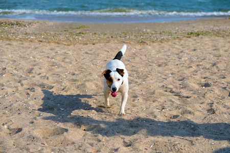 Jack russell terrier dog run on sand on beach. Spring time